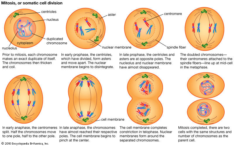 Mitosis phases selol ink mitosis phases ccuart Choice Image